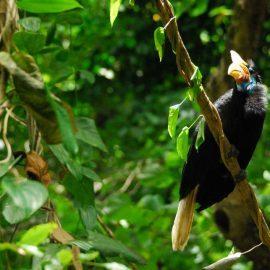 Sulawesi knobbed hornbill