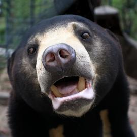 Sun bear up close