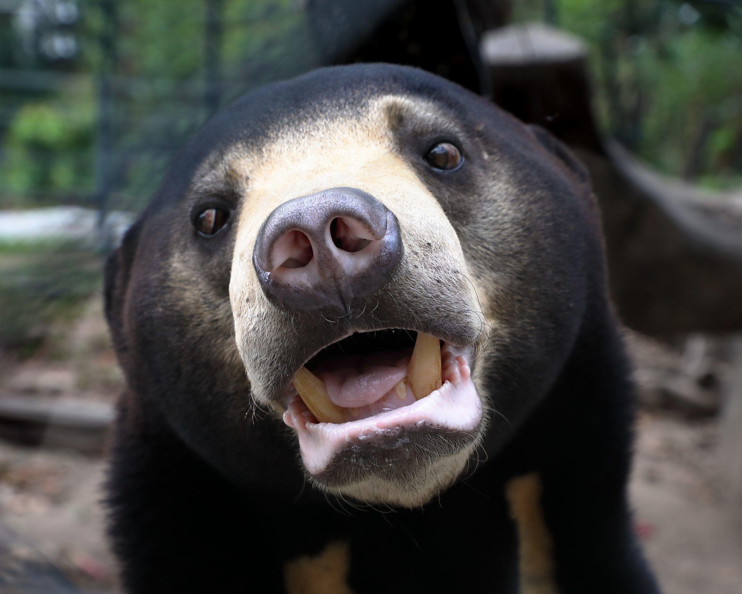 Bear Sanctuary Volunteer Project, Cambodia