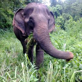 Elephant volunteer project, elephant eating grass in Thailand