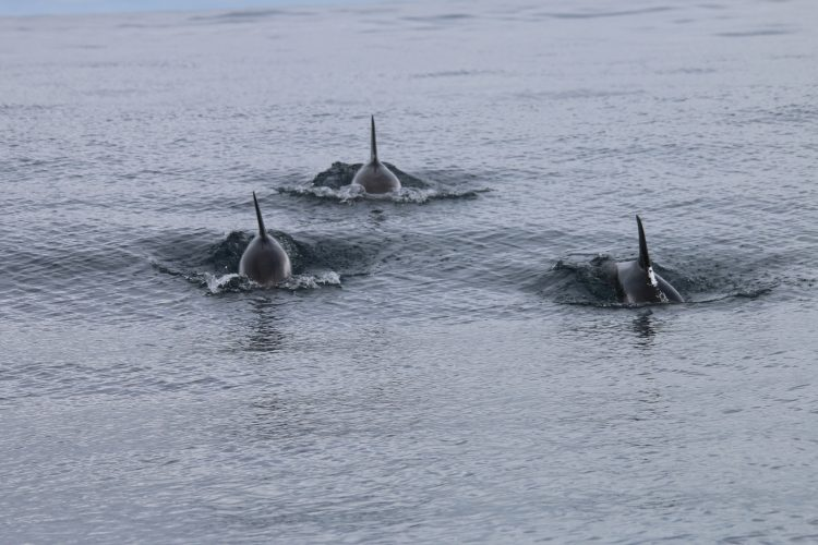 Three dolphins swimming in Scotland