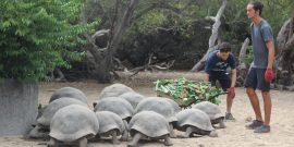 Galapagos tortoise conservation volunteers