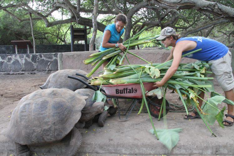 Volunteers feeding giant Galapagos tortoises