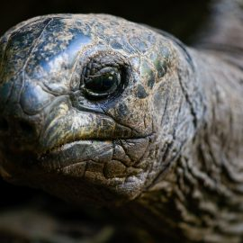 Wildlife conservation in Mauritius Giant Tortoise