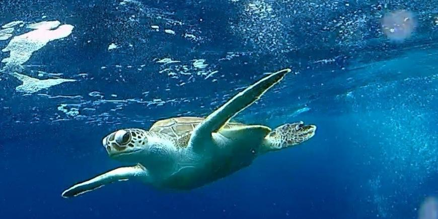 Sea turtle swimming underwater in the Maldives