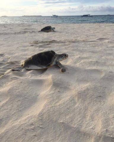 Sea turtle on the beach in Maldives