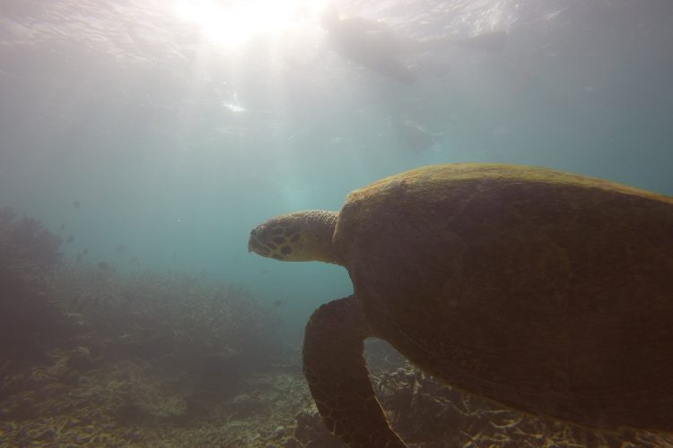 Underwater shot of swimming hawksbill turtle