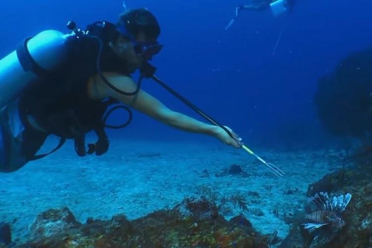 Volunteer catching lionfish in St Eustatius