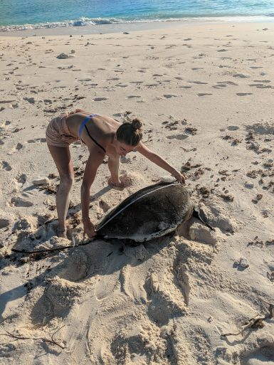 volunteer measuring sea turtle