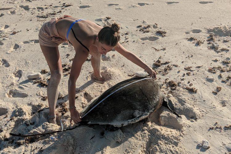volunteer measuring sea turtle