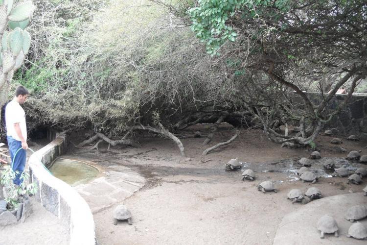 Volunteer with Galapagos torrtoises