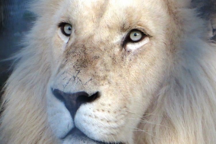 Male white lion closeup