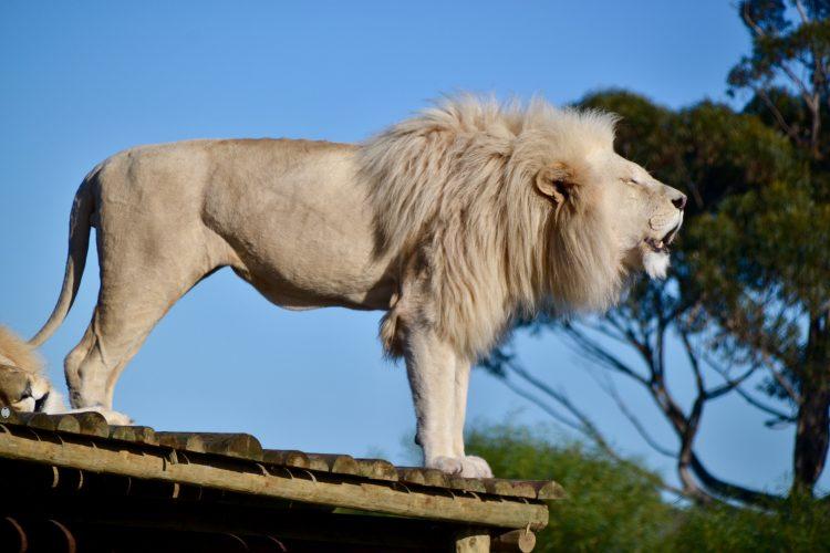 White lion roaring