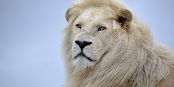 Male White Lion in South Africa