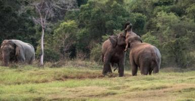 wild elephants sri lanka