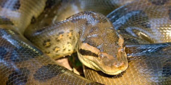 Green anaconda in amazon Peru