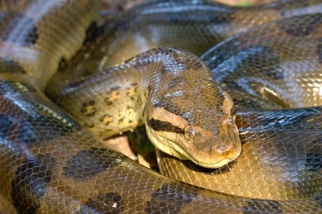 Amazon Anaconda Conservation & Telemetry Study Programme, Peru