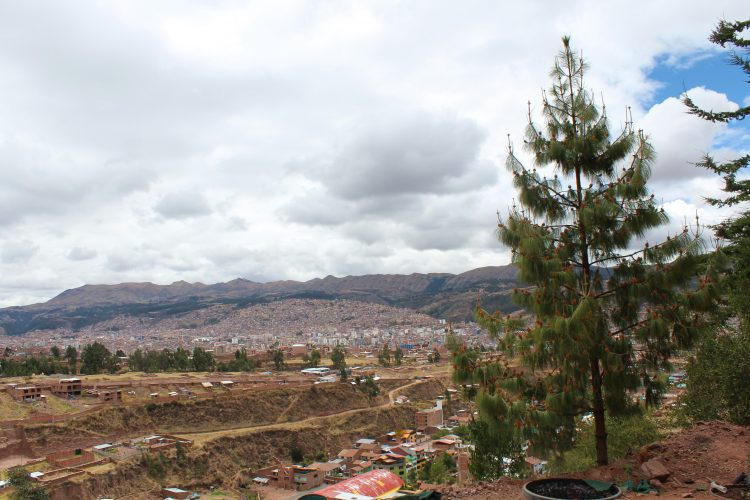 Cedar tree view Cusco