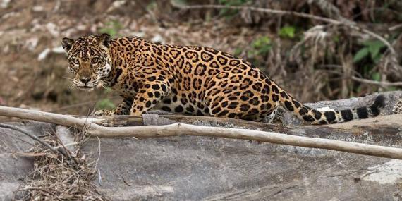 Jaguar in Amazon