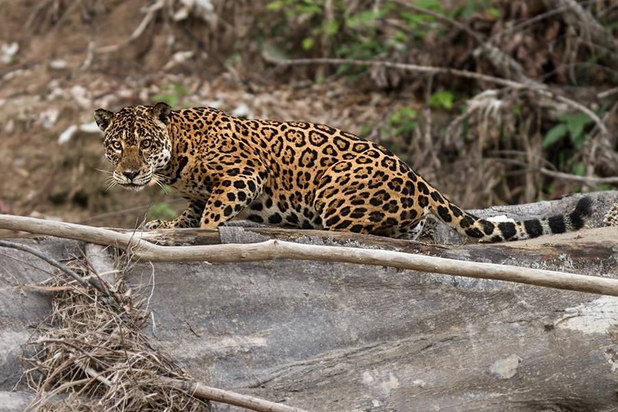 Amazon Tropical Mammal Conservation Research Programme, Peru