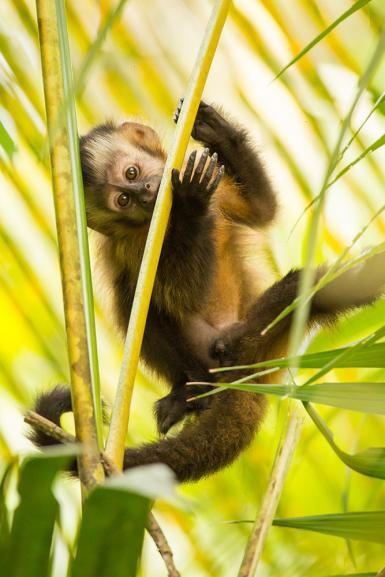 Juvenile Brown Capuchin