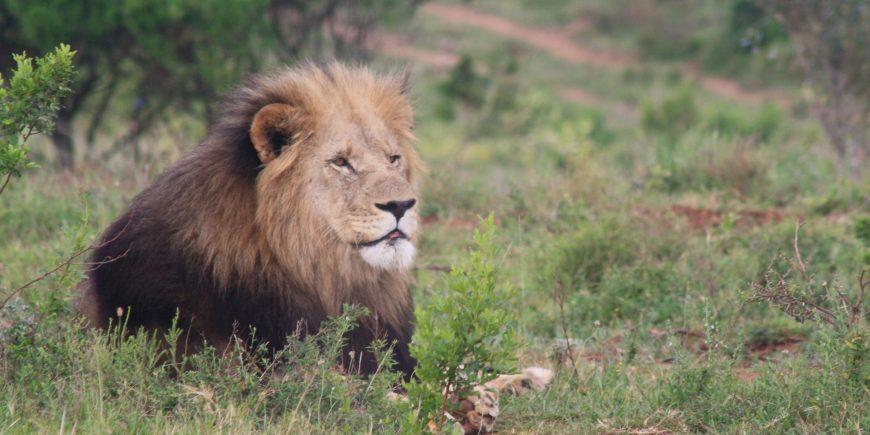 Lion at Kariega in South Africa