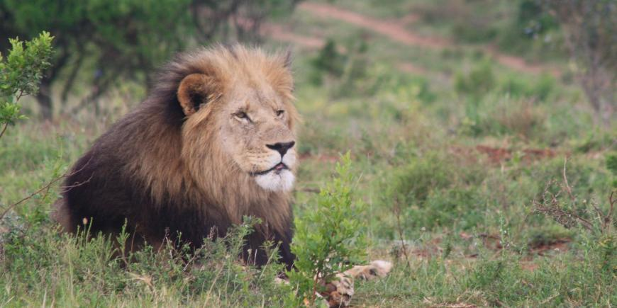 Lion at Kariega in South Africa