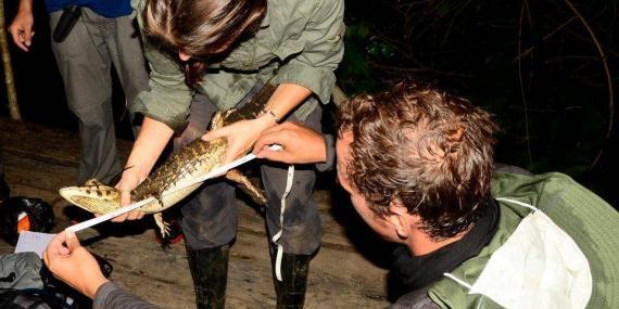 Volunteer measuring caiman