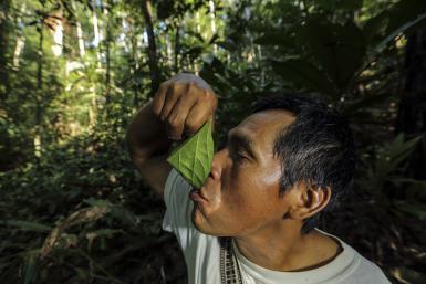 Medicinal Plants Oje sap drinking
