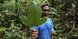 Medicinal Plants Pourouma leaf