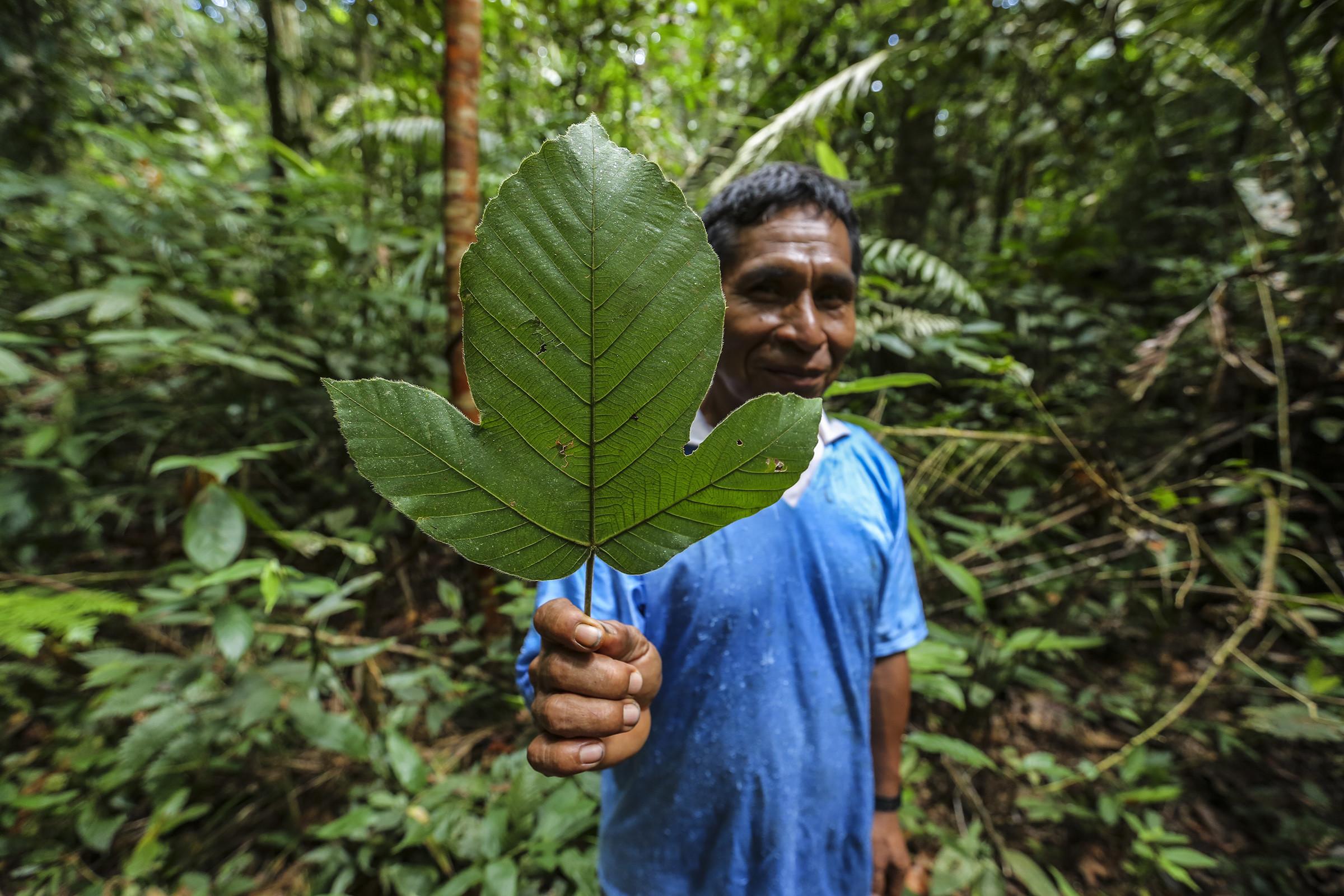 Amazon Medicinal Plant Research Volunteer & Internship Project, Peru