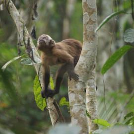 Monkey of Amazon