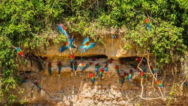 Red and green macaws at riverside claylick