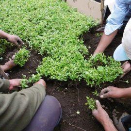 Seedlings being replanted
