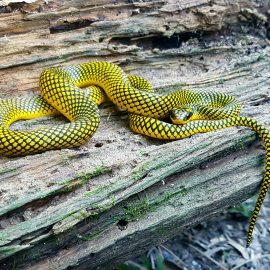 Snake of the Amazon