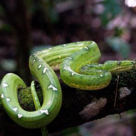 Snake on tree in Amazon