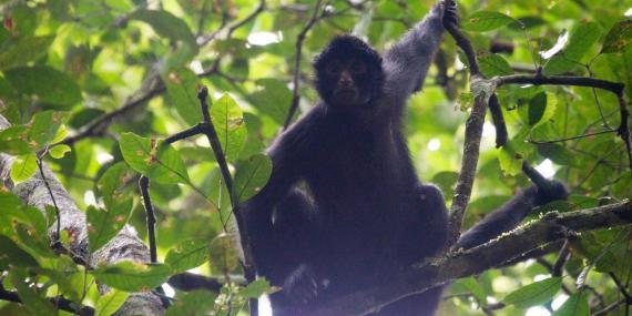 Spider monkey in tree canopy