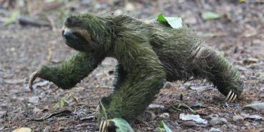 Three-toed sloth wanders into camp