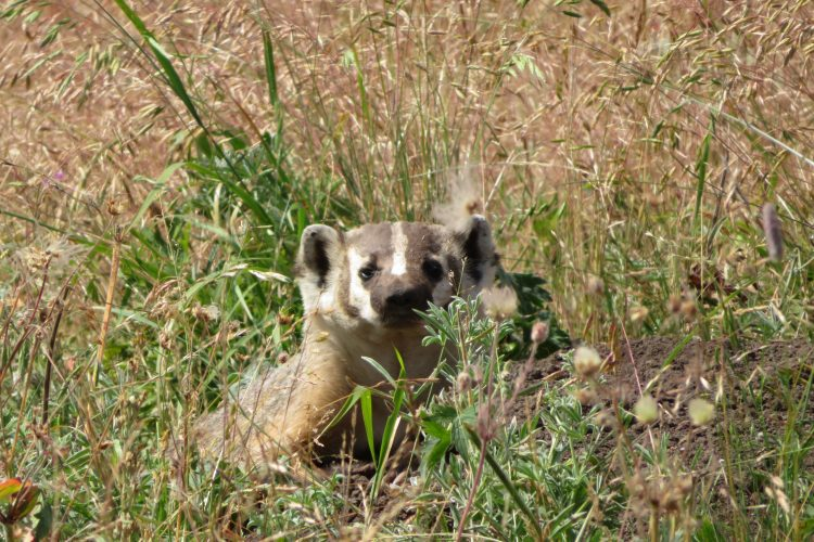 American badger in Oregon