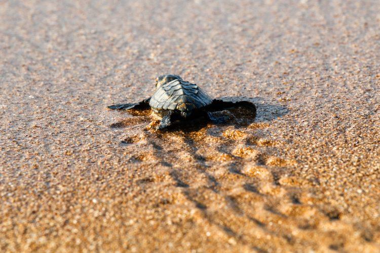 Baby sea turtle crawling on beach in Greece