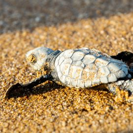 Baby sea turtle in Greece
