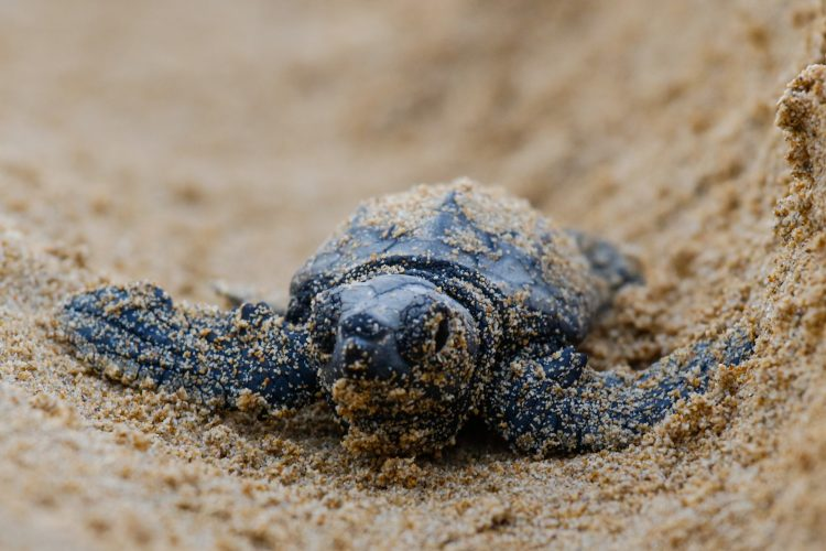 Baby sea turtle in the sand
