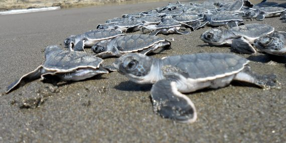 Turtle hatchlings being released in Costa Rica