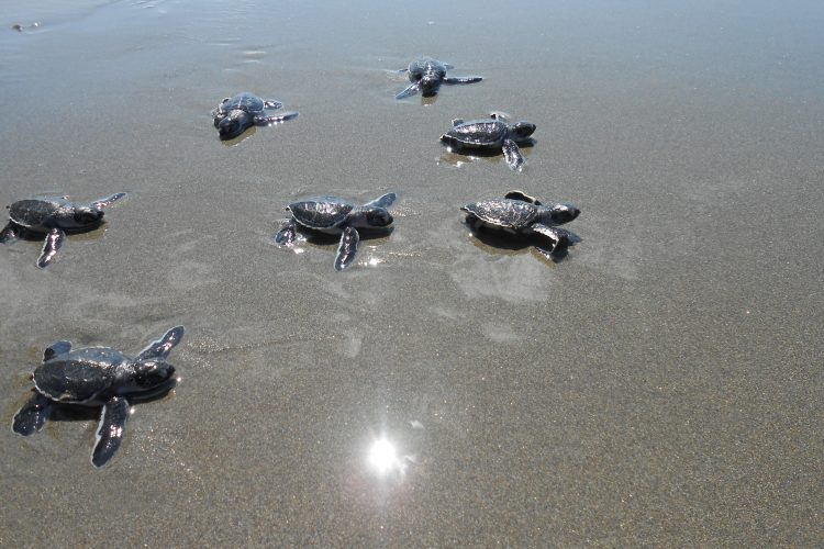 Turtle hatchlings on beach in Costa Rica