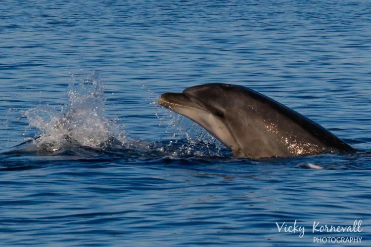 Researching dolphins in Croatia
