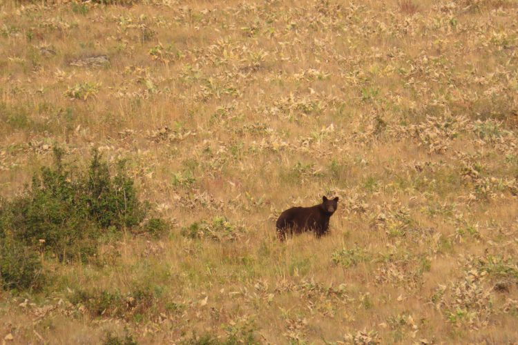 Black bear in the distance in Oregon