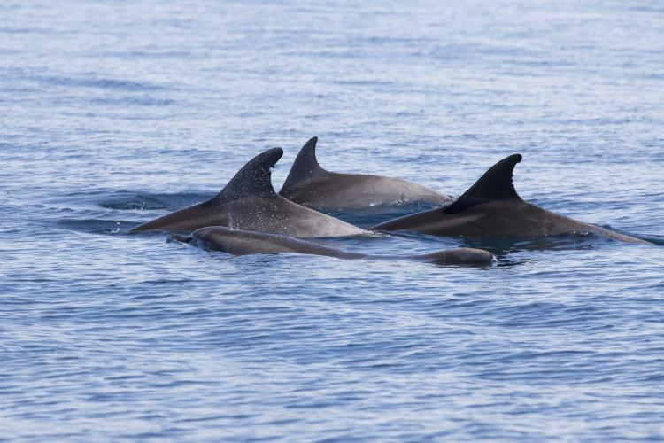 Dorsal fins of dolphins in Croatia
