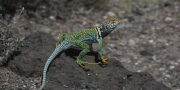 Lizard in national park in California