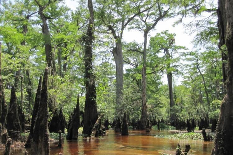 Trees on Cape Fear River
