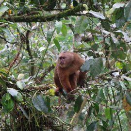 Capuchin Monkey in Ecuador